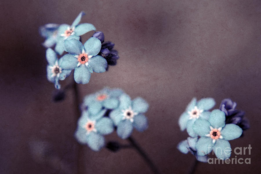 Forget Me Not 01 - S05dt01 Photograph  - Forget Me Not 01 - S05dt01 Fine Art Print