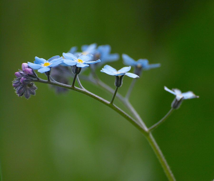 Forget-me-not 2 Photograph  - Forget-me-not 2 Fine Art Print