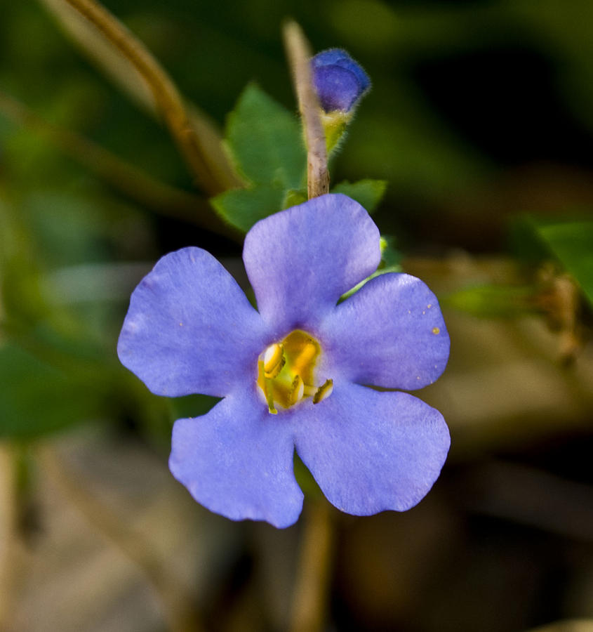 Forget Me Not Photograph
