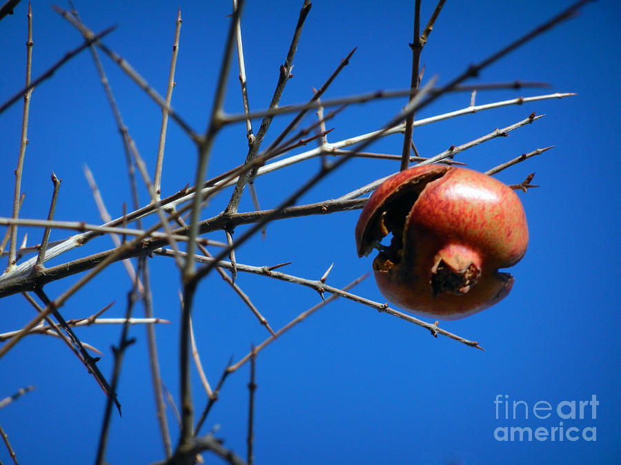 Forgotten Pomegranate  Photograph