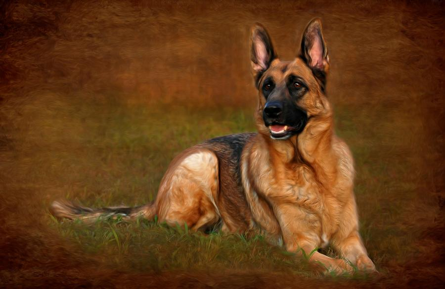 Forrest The German Shepherd Photograph