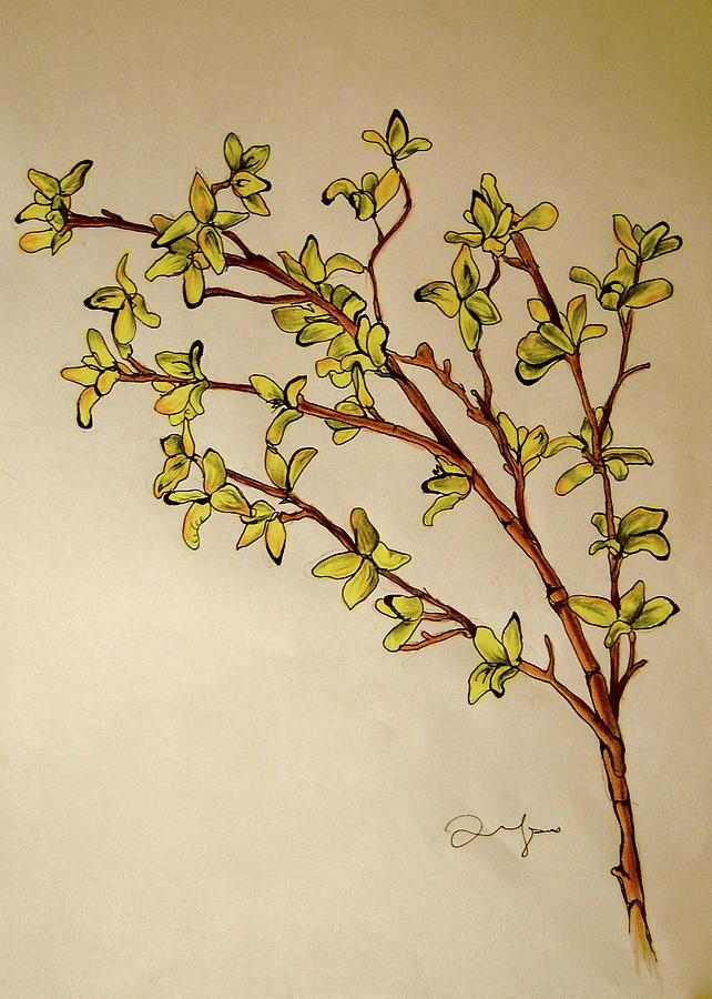 Forsythia Drawing 