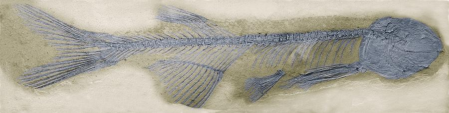 Animal Photograph - Fossil Fish, Sem by Steve Gschmeissner