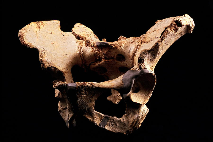 Fossilised Pelvis, Sima De Los Huesos Photograph