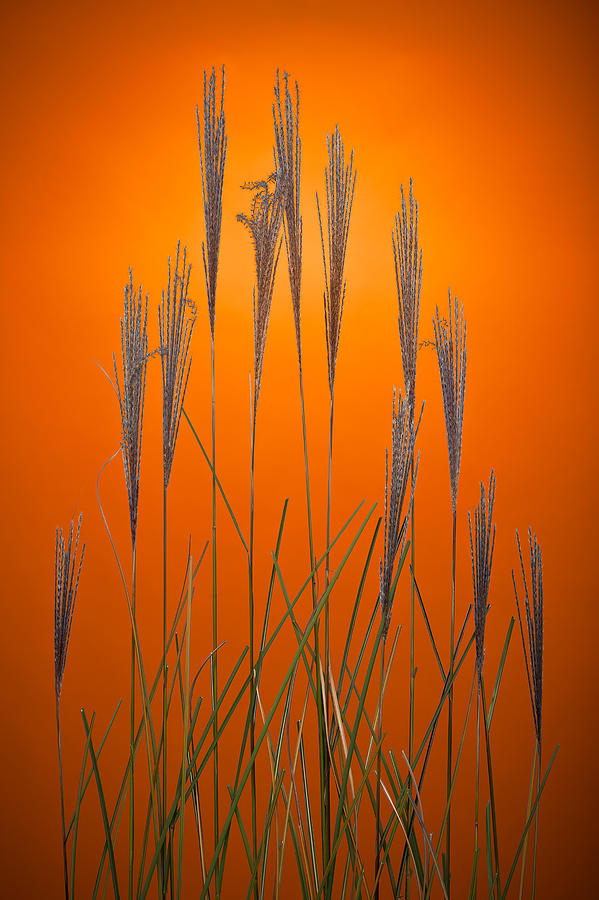 Fountain Grass In Orange Photograph