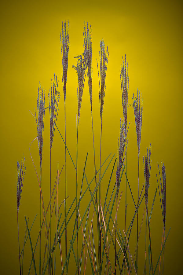 Fountain Grass In Yellow Photograph