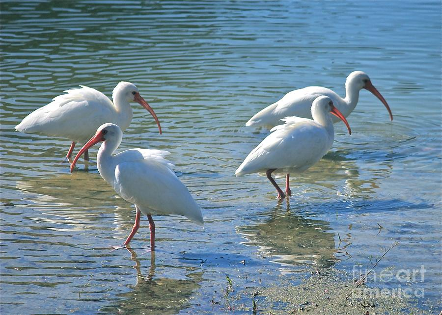 Four Ibises Photograph