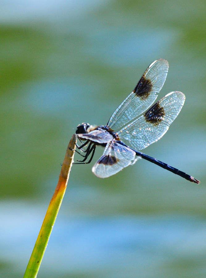 Four Spotted Pennant  Photograph  - Four Spotted Pennant  Fine Art Print
