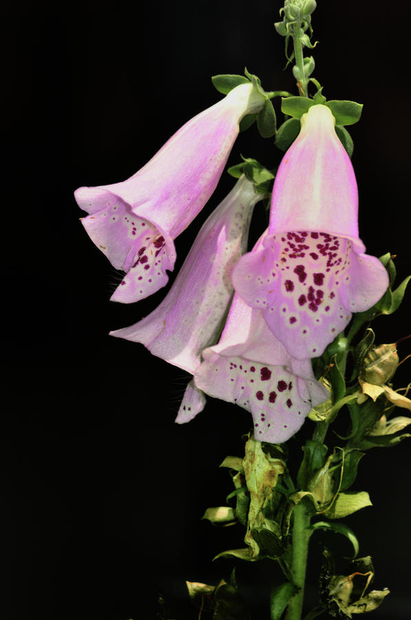 Fox Glove Bells Photograph
