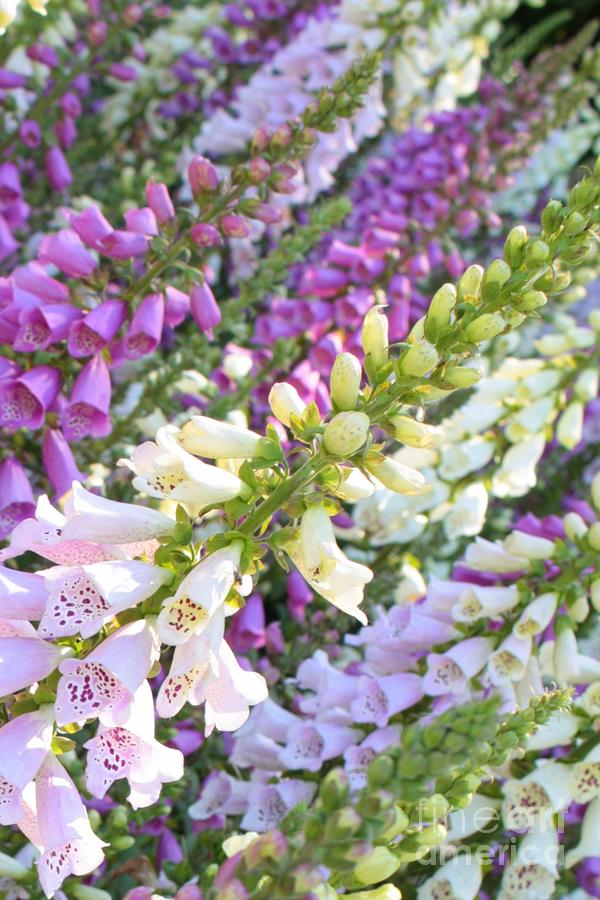 Foxglove Card Photograph  - Foxglove Card Fine Art Print