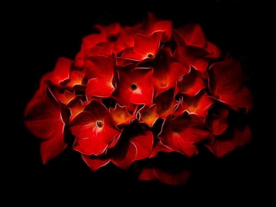 Hydrangea Photograph - Fractalius Red Hydrangea by Jay Lethbridge