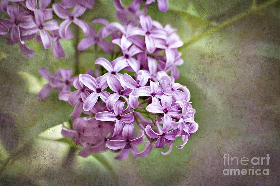 Lilac Photograph - Fragrant Purple Lilac by Cheryl Davis