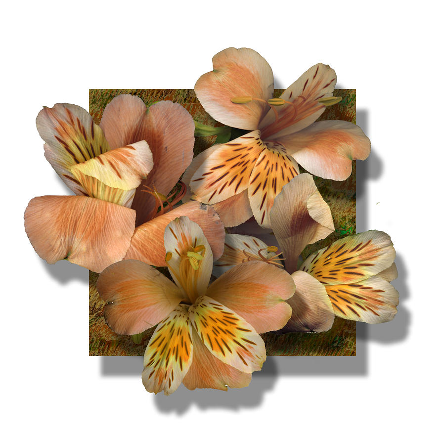 Freesia Photograph  - Freesia Fine Art Print