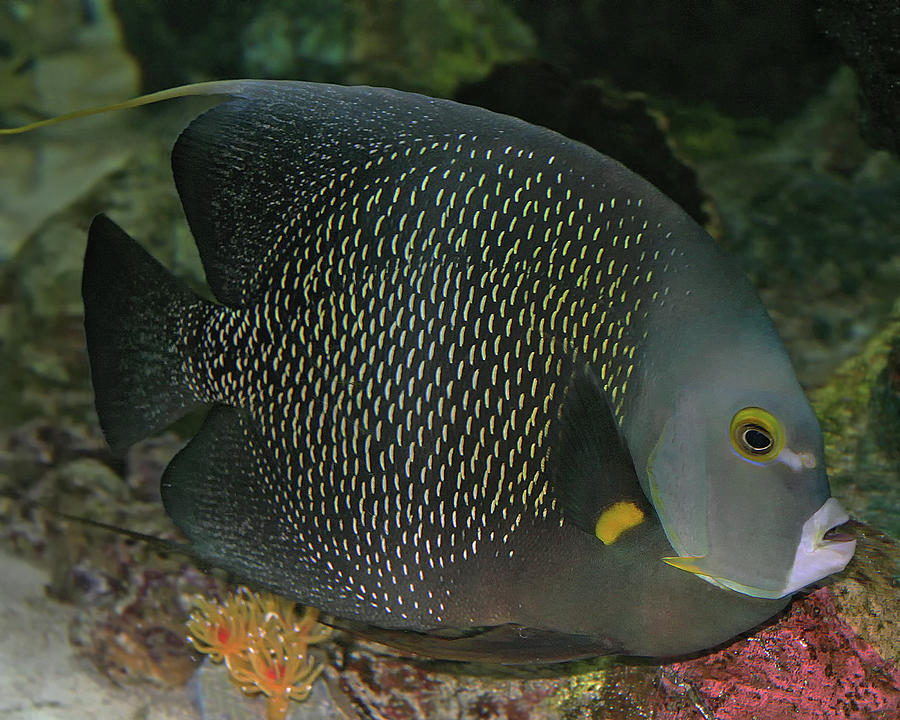french angelfish by larry linton french angelfish