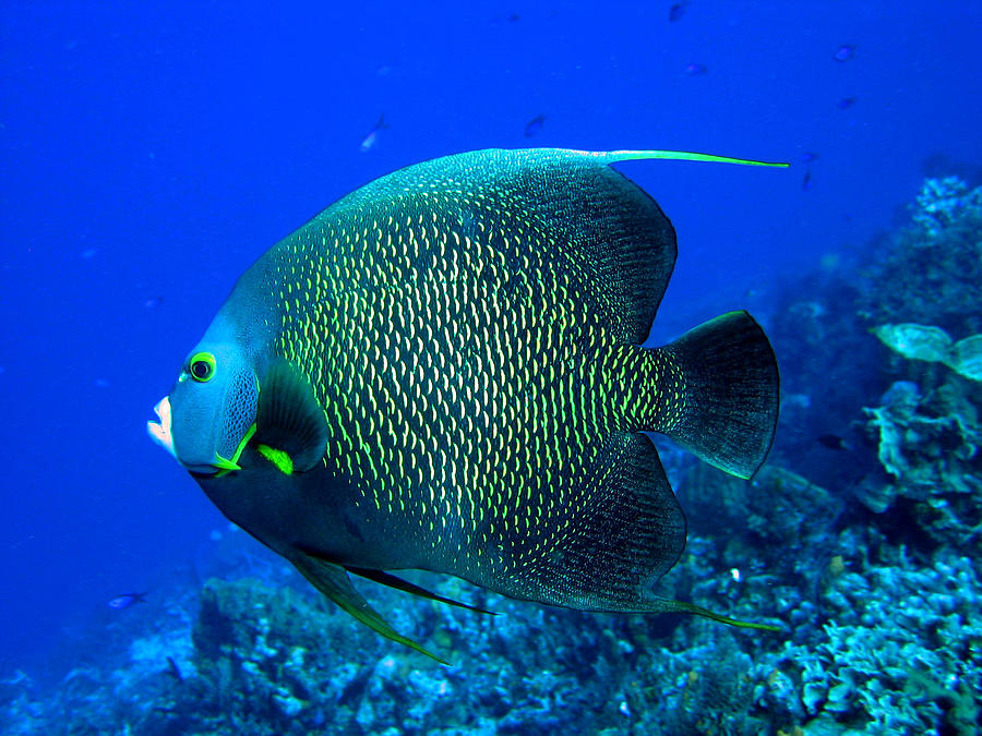 french angelfish by stephanie puttre french angelfish