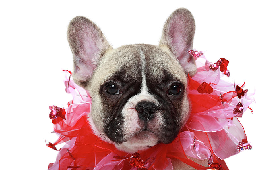 French Bulldog Puppy Photograph