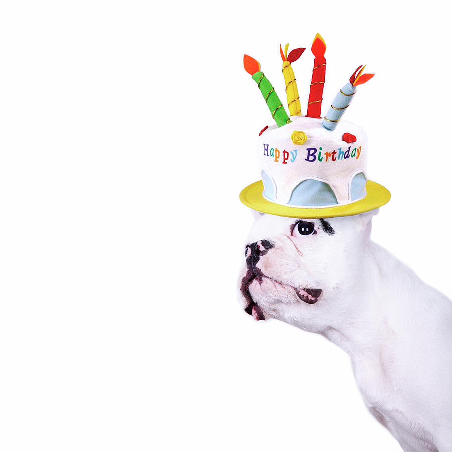 French Bulldog With Birthday Cake Photograph