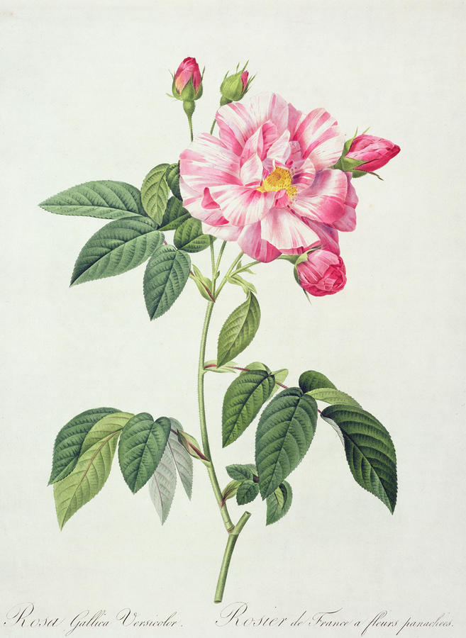French Rose Drawing