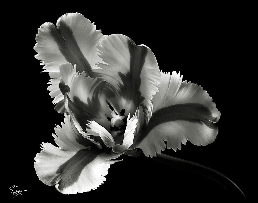 French Tulip In Black And White is a photograph by Endre Balogh which ...