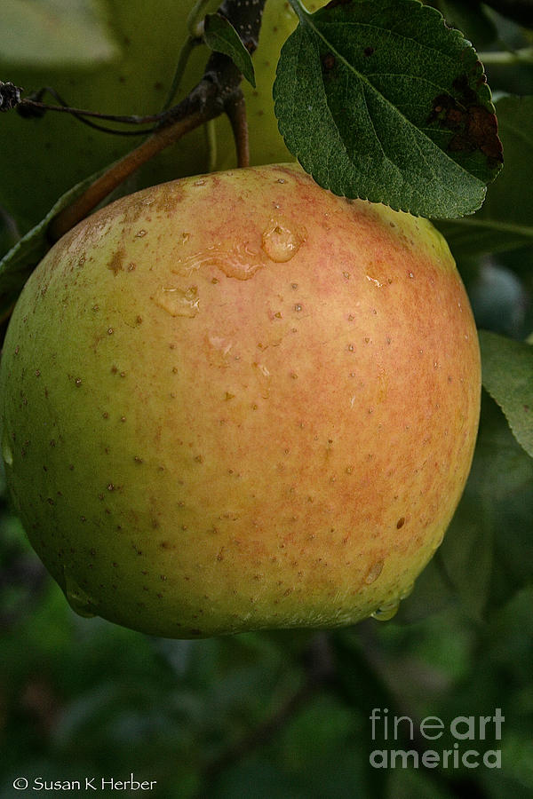 Landscape Photograph - Fresh Apple by Susan Herber