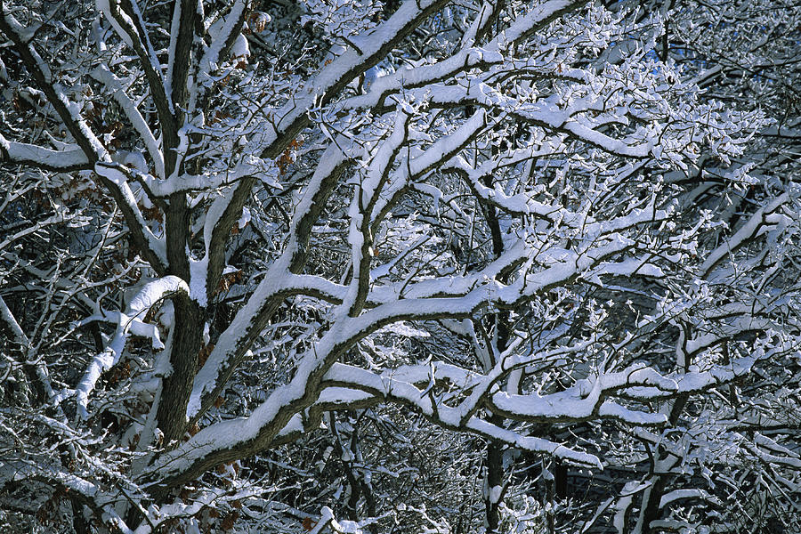 Fresh Snowfall Blankets Tree Branches Photograph
