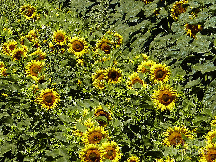 Fresh Sunflowers Photograph