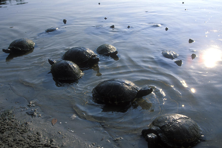 Fresh Water Turtles At Photograph