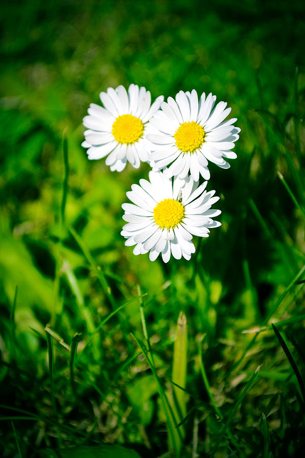 Friendly Daisy Photograph  - Friendly Daisy Fine Art Print