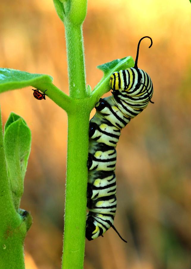 Caterpillar Photograph - Friends by Donna Caplinger