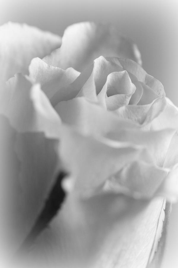 Friendship Rose In Black And White Photograph  - Friendship Rose In Black And White Fine Art Print