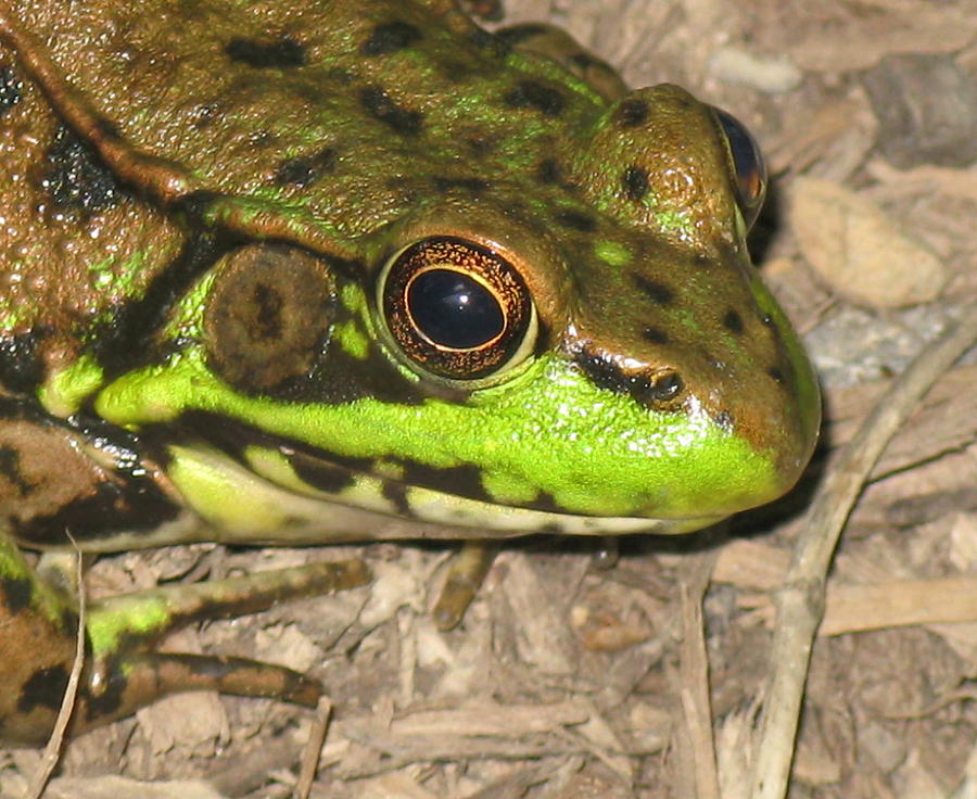 Frog Photograph - Frog by Debbie Finley