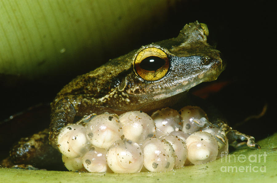 Frog Guarding His Eggs Photograph