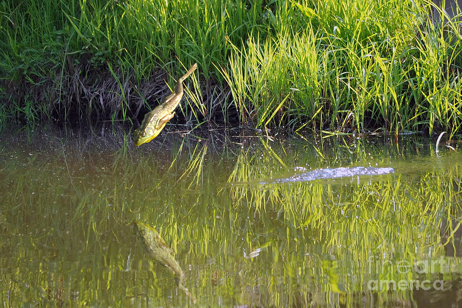 Frog Jumping In Water Photograph