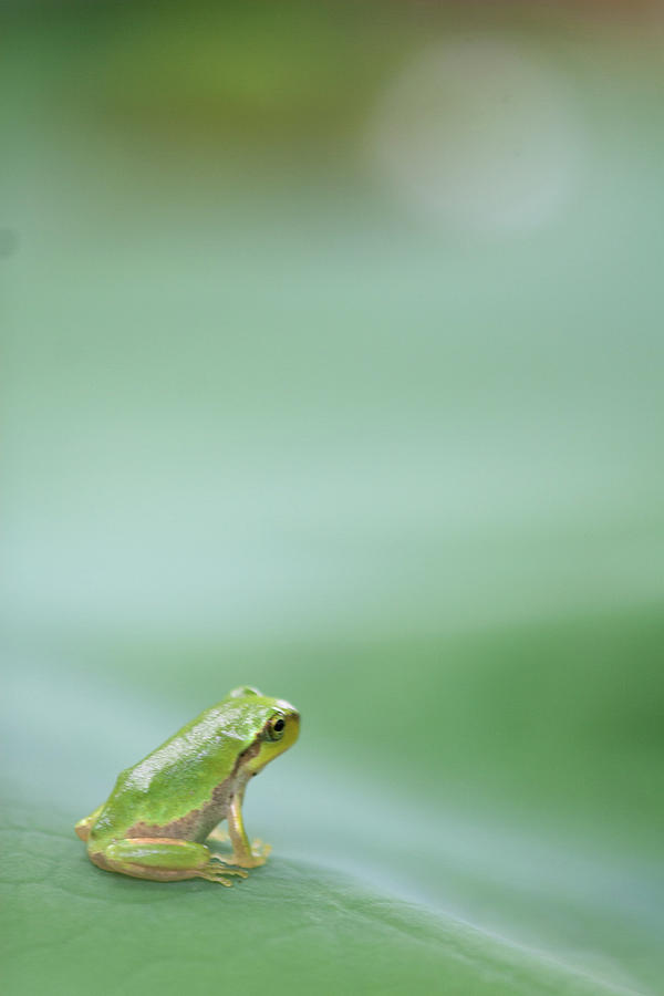 Frog On Leaf Of Lotus Photograph