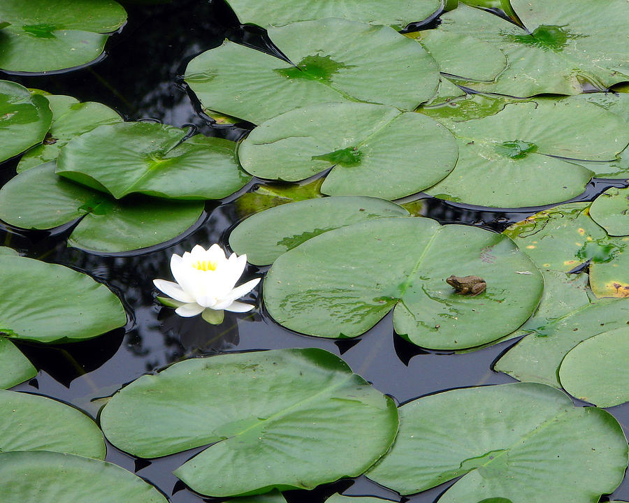 Frog On Lily Pad by Ge...
