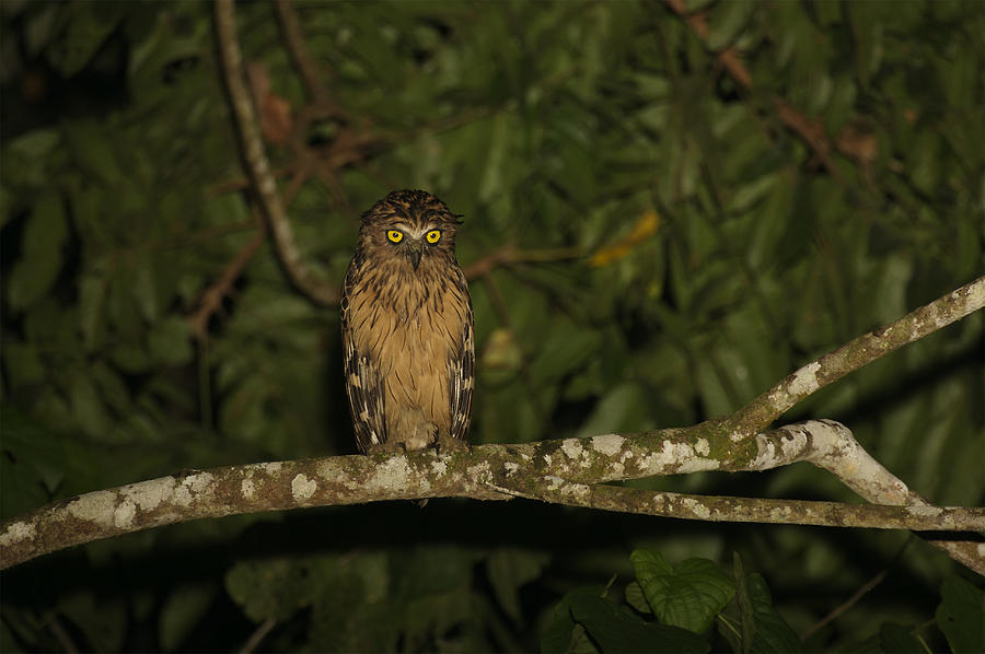 Front View Of A Buffy Fish Owl Ketupa Photograph  - Front View Of A Buffy Fish Owl Ketupa Fine Art Print