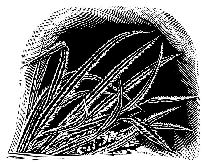 Frost On Blades Of Grass, Woodcut Photograph