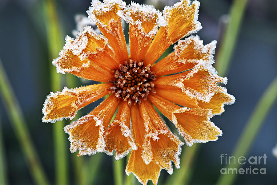 Frosty Flower Photograph  - Frosty Flower Fine Art Print