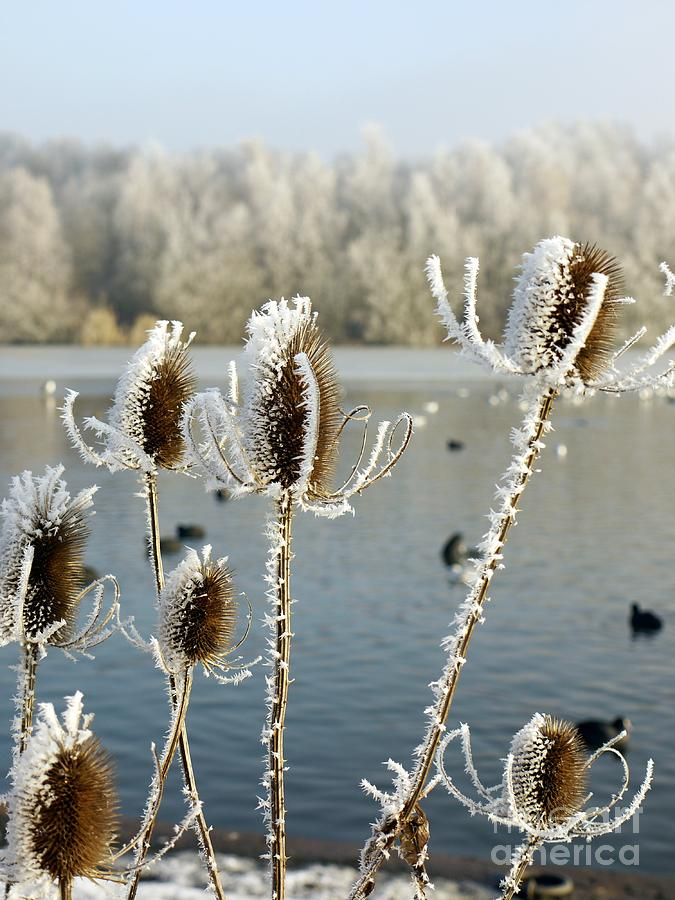 Teasle Photograph - Frosty Teasel by John Chatterley