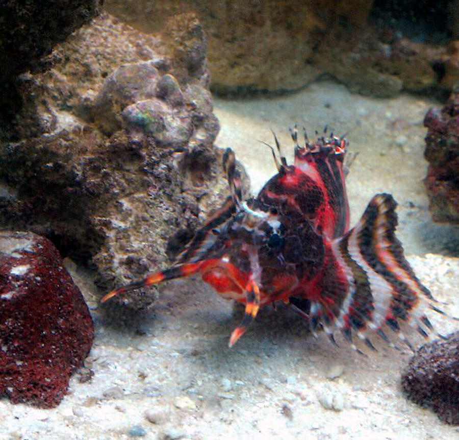 Royal Gramma  Reef Aquarium