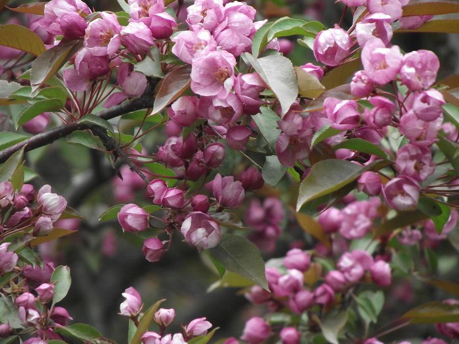 Full Blossom Photograph
