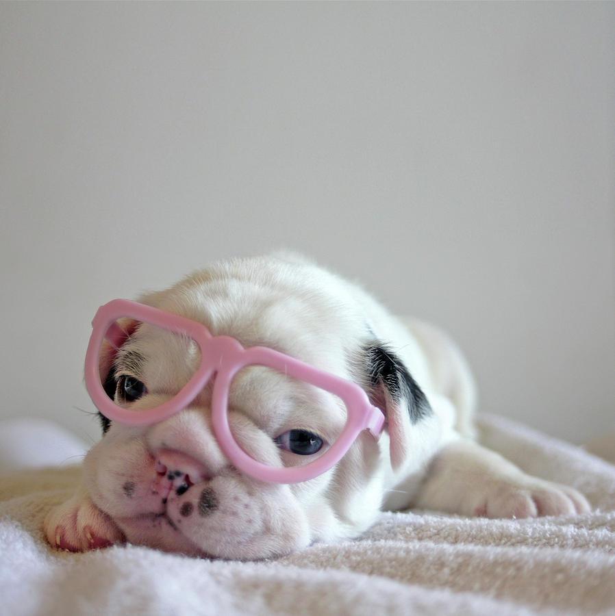 Vertical Photograph - Funny French Bulldog by Retales Botijero