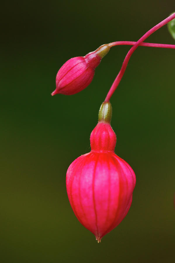 Vertical Photograph - Fuschia Buds by Laszlo Podor Photography