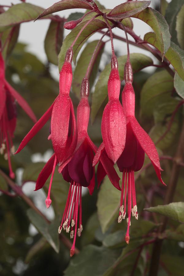 California Coast Photograph - Fuschia Flower by George Grall