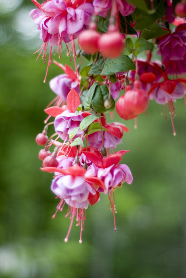 Fuschia Photograph  - Fuschia Fine Art Print