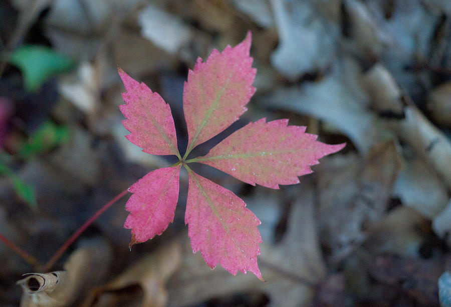 Fushia Leaf 2 Photograph