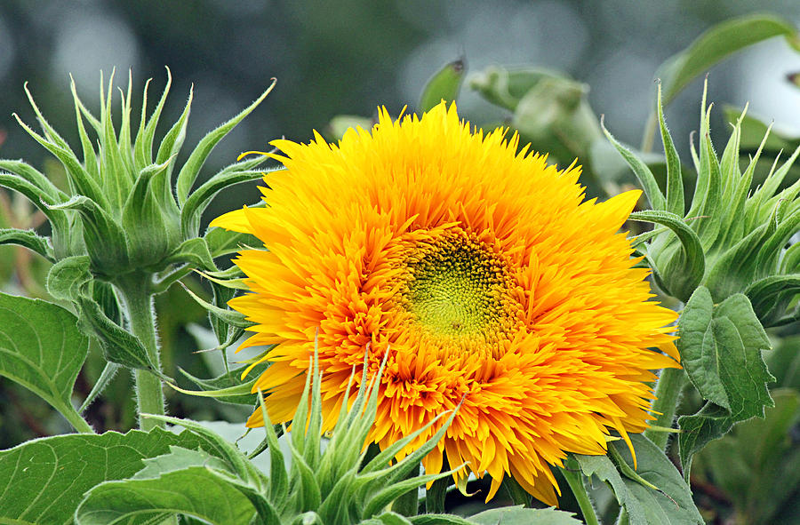 Becky Photograph - Fuzzy Sunflower by Becky Lodes