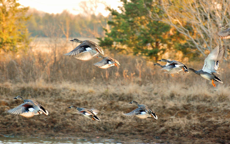 Ducks Photograph - Gadwall Ducks On The Wheelock Prairie by Charles ...