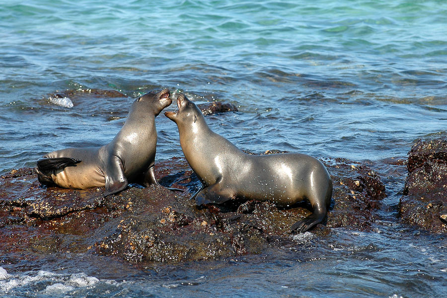 Galapagos Sea Lion Photograph