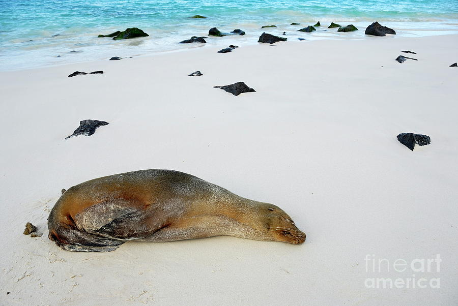 Galapagos Sea Lion Sleeping On Beach Photograph  - Galapagos Sea Lion Sleeping On Beach Fine Art Print